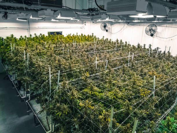 Producția de cannabis din SUA ar putea emite mai multe gaze cu efect de seră decât industria minieră